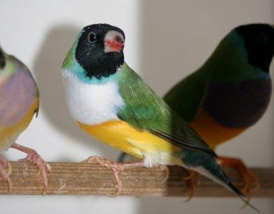 Les oiseaux pour l'ARAO .