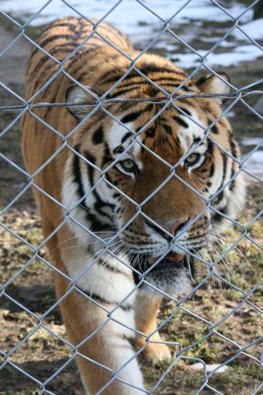 Tigre de Sibérie (Panthera tigris altaica).