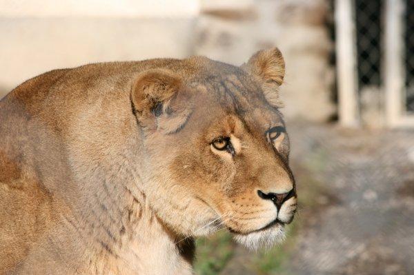 Le lion d'Afrique (Panthera leo leo)