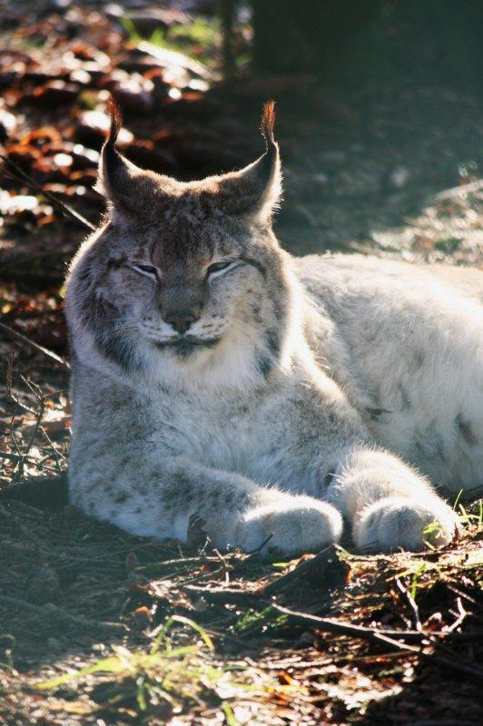 Le Lynx boréal (Lynx lynx) : Lynx d'Europe,