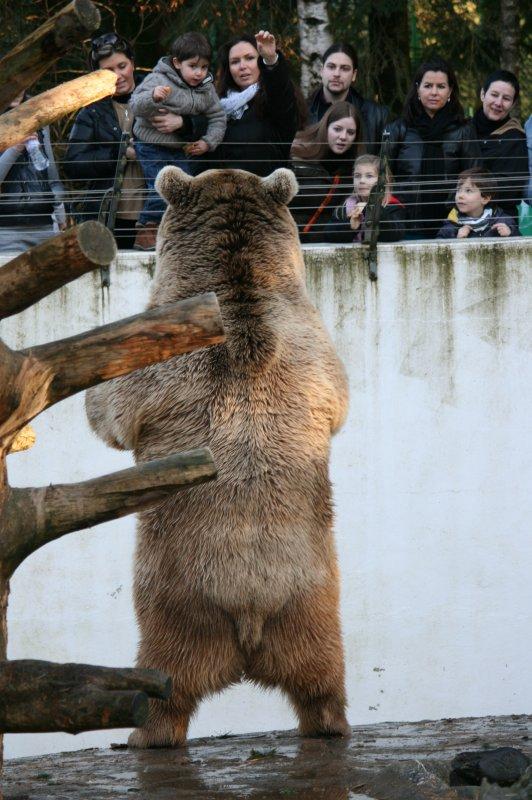 L'ours brun de Syrie (Ursus arctos syriacus).