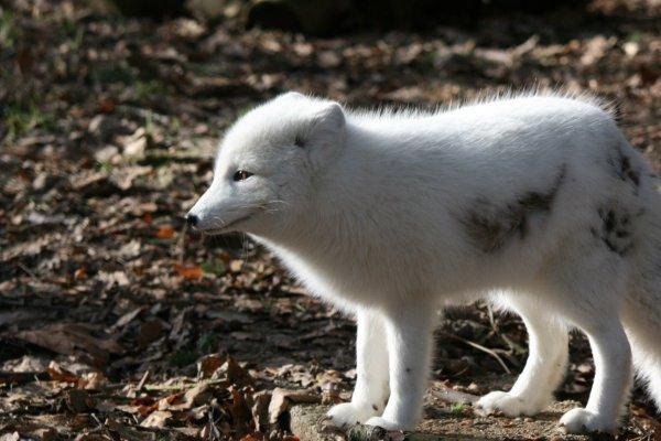 Le renard polaire ou arctique  (Vulpes lagopus ou Alopex lagopus),