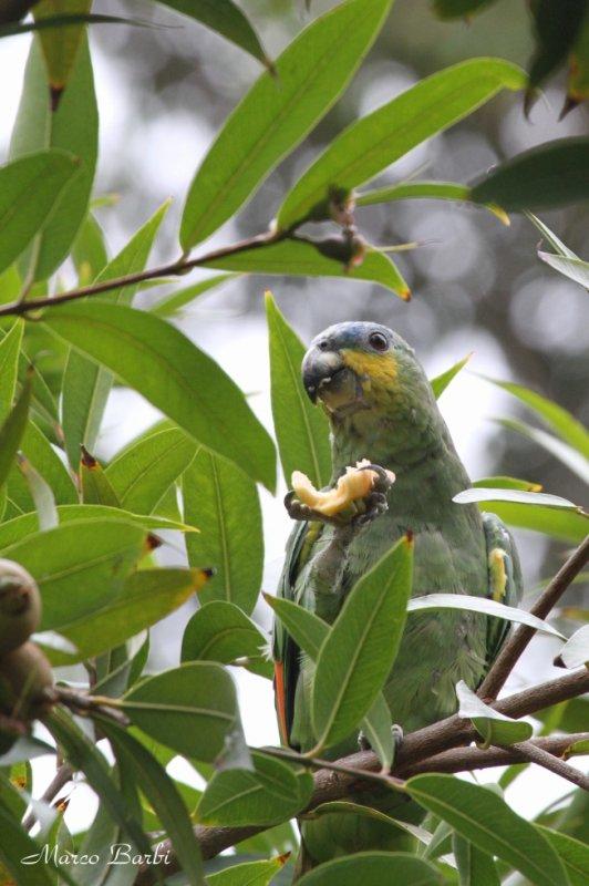 Amazone en liberté à Puerto de la Cruz Tenerife .( amazone aourou amazona amazonica )