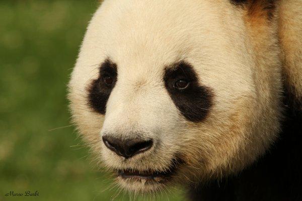 Grand panda ou Panda géant (Ailuropoda melanoleuca)