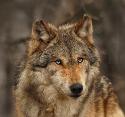 Golden Brown Wolf With Blue Eyes Articles de YunniexJoo...