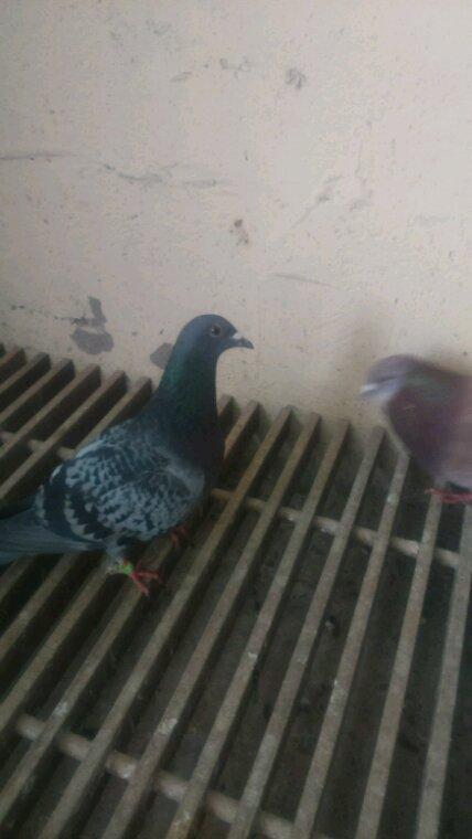 Premier pigeons signale