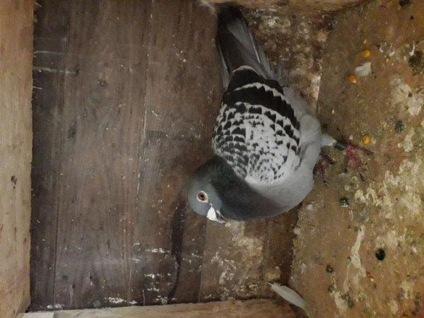 Pigeon perdu