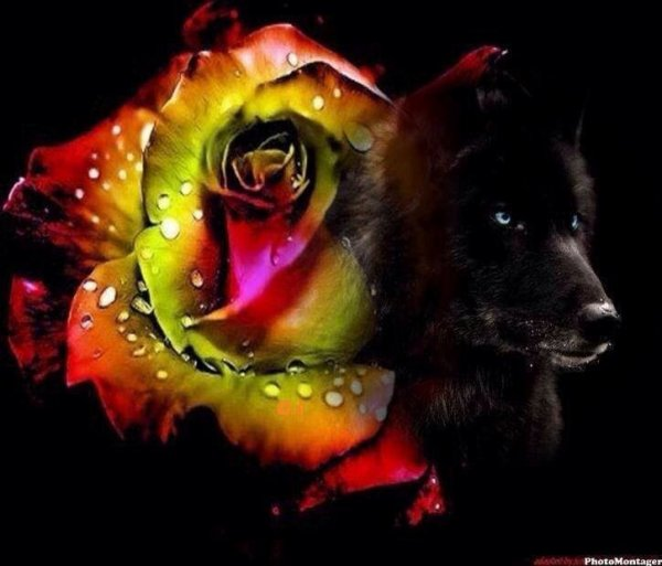 le loup et la rose