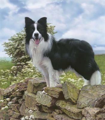 Border Collie - Le Berger-Allemand : C'est un chien, c'est