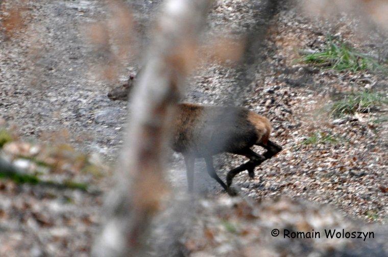 Deux petits cerfs dont un avec un seul bois mais pas moyen de mettre la main sur celui déjà tombé :(