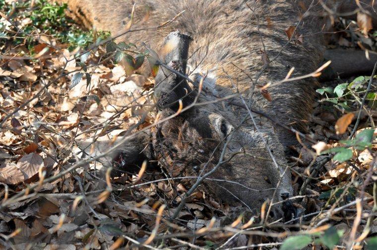 Macabre découverte, peut être le résultat d'un manque de surveillance dans la forêt ou bien le fait de laisser trop longtemps des gens du voyage près de la forêt... en tout cas le bilan est là, 3 cerfs braconnés dans une forêt qui n'a vraiment pas besoin de ça en ce moment !!!