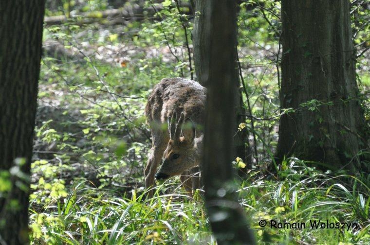 Petit brocard et cerfs fin avril