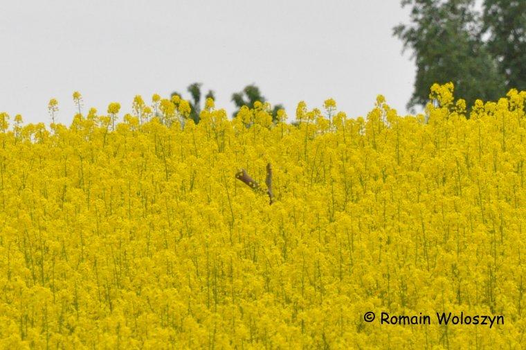 Cache cache en mai, dans le colza en fleurs avec 3 cerfs et une chevrette.