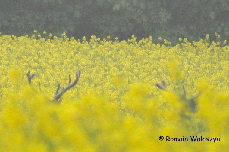 Deux cerfs fin mai, sous la pluie