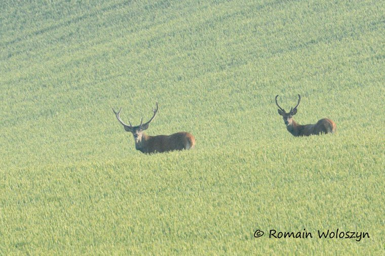 Deux cerfs dans le blé, un peu loin.