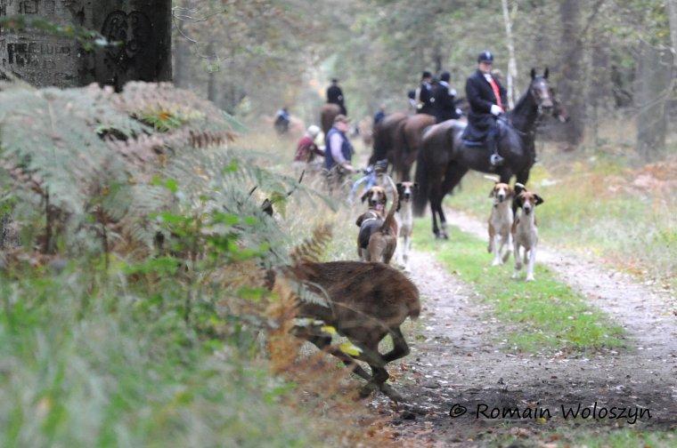 Chasse du Samedi 26/10/2013 en forêt de Pontarmé, retraite manquée. Petite série sur des petits cerfs dérangés par la chasse...Sur les 3 premières, un cerf qui n'est pas passé inaperçu... Et sur les 2 dernières belles photos ratées, et oui les cerfs sont parfois plus rapide que l'autofocus et surtout que le photographe... !!!