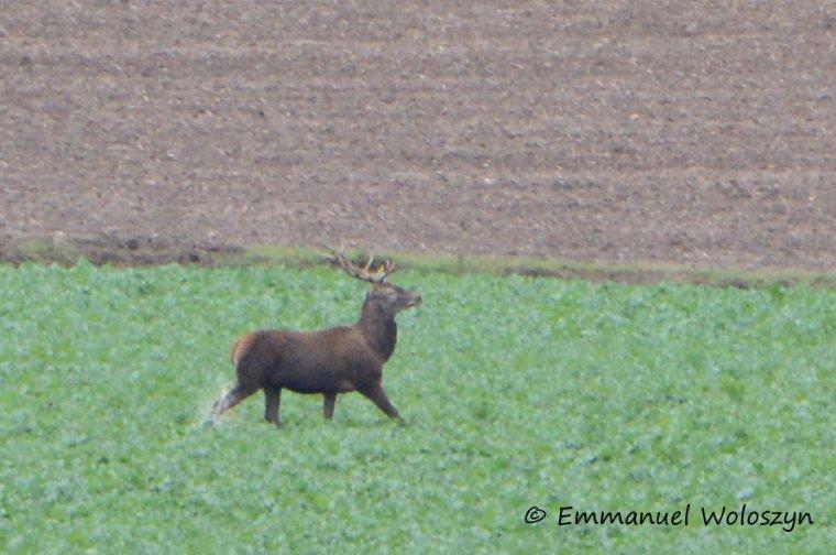 Première chasse de l'année en forêt d'Halatte, retraite manquée ( cerf de chasse seulement sur la 1ère photo )