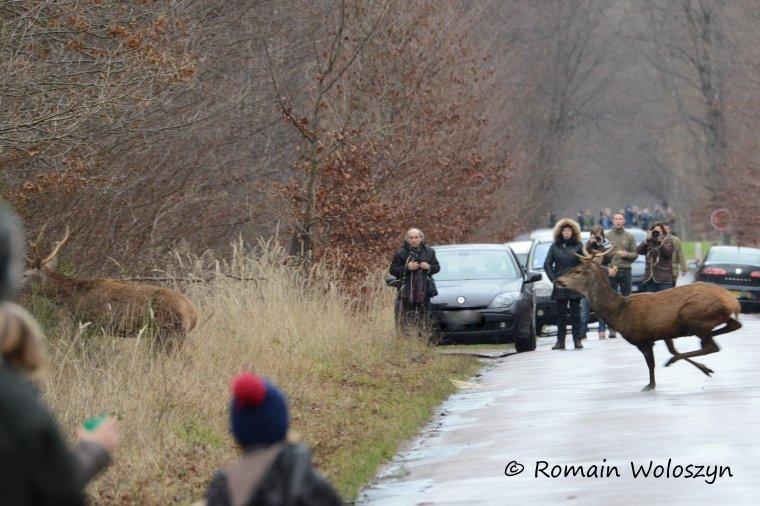 Chasse du mardi 31/12/2013, forêt de Chantilly, retraite manquée.