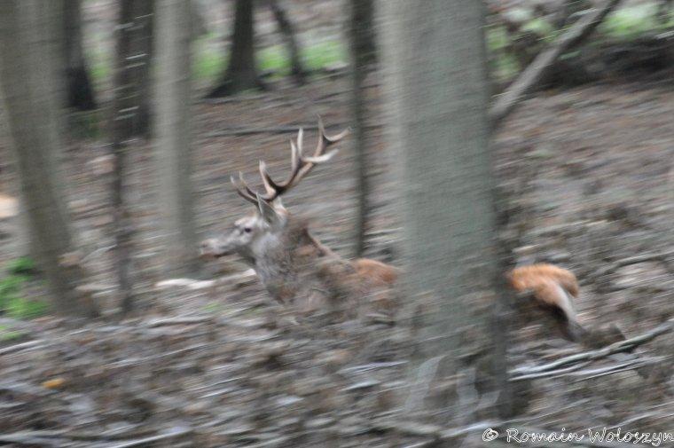Allez la saison reprend... chasse du samedi 27/09/2014 en forêt de pontarmé, retraite manquée