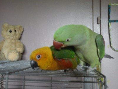 C'est beau l'amitié entre perroquets !
