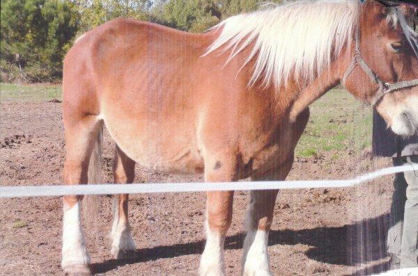 FLOCON et GRACIEUX deux chevaux de trait breton 17 et 18 ans recuperés en mauvais état mais heureusement ils ont trouvé des adoptants le jour meme de leur arrivée