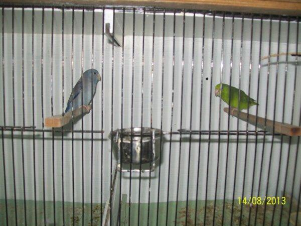 couple de perruche moineau