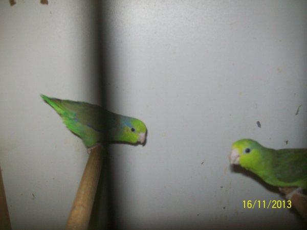 nouveaux couple de perruche moineau