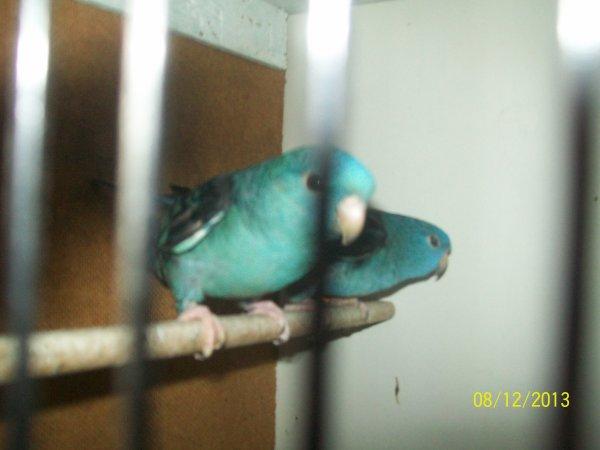 couple de perruche Catherine  bleu turquoise