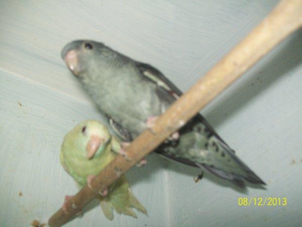 couple de perruche catherine