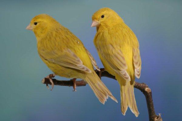 Isabel geel / isabelle jaune