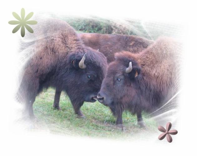 Bisons du Poitou86