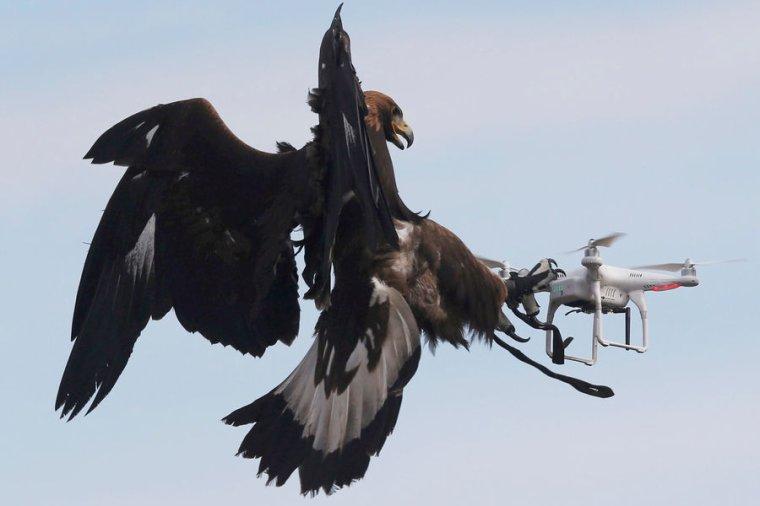 LES AIGLES PLUS FORTS QUE LES DRONES