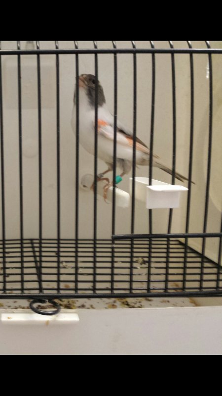 Canari arlequim par femelle 2013