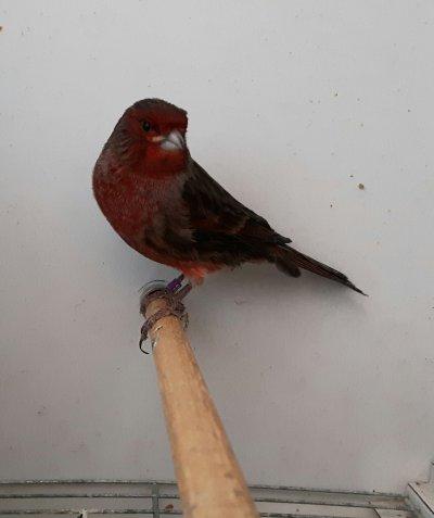 reproductor.negro rojo nevado