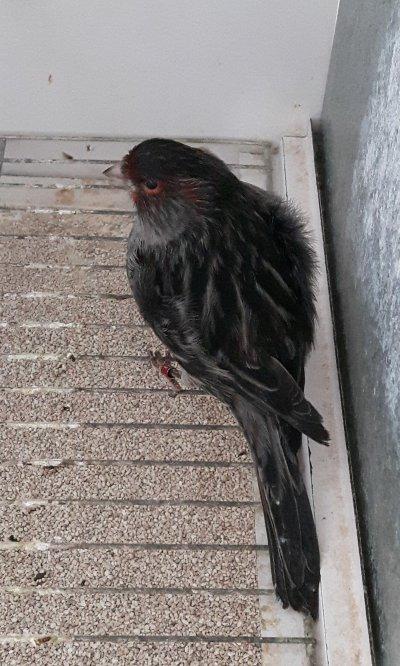 macho negro rojo mosaico 18