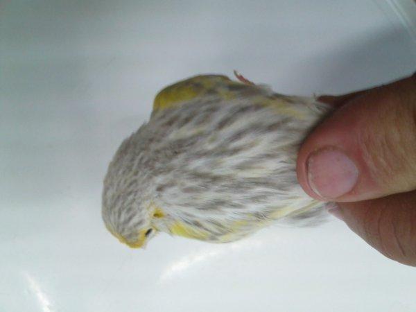 agate opale jaune mosaique