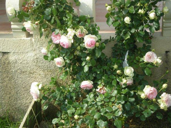 Mon rosier
