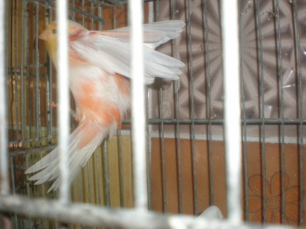 Lipos rouge ailes blanche