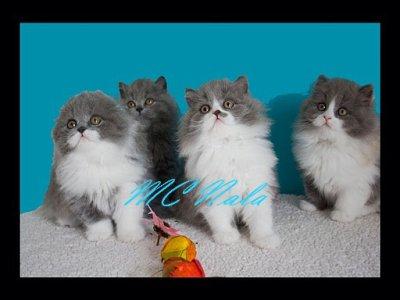 Jolie brochette de chatons British Longhair et Higland MC Nala