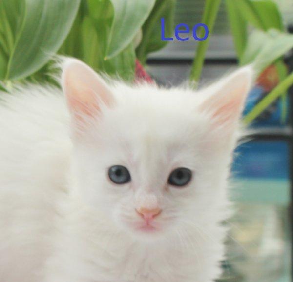 Léo de l'Empire Ottoman - Mâle blanc aux yeux verts