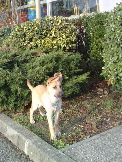 voici ma chienne zina 1ans et demi