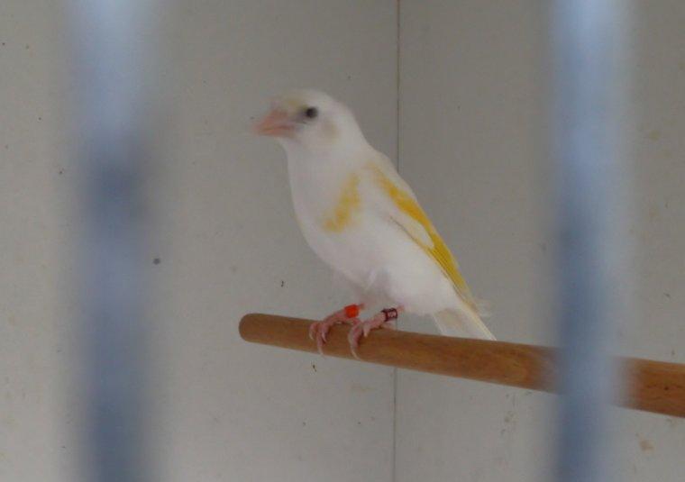 Chardoneret femelle blanche