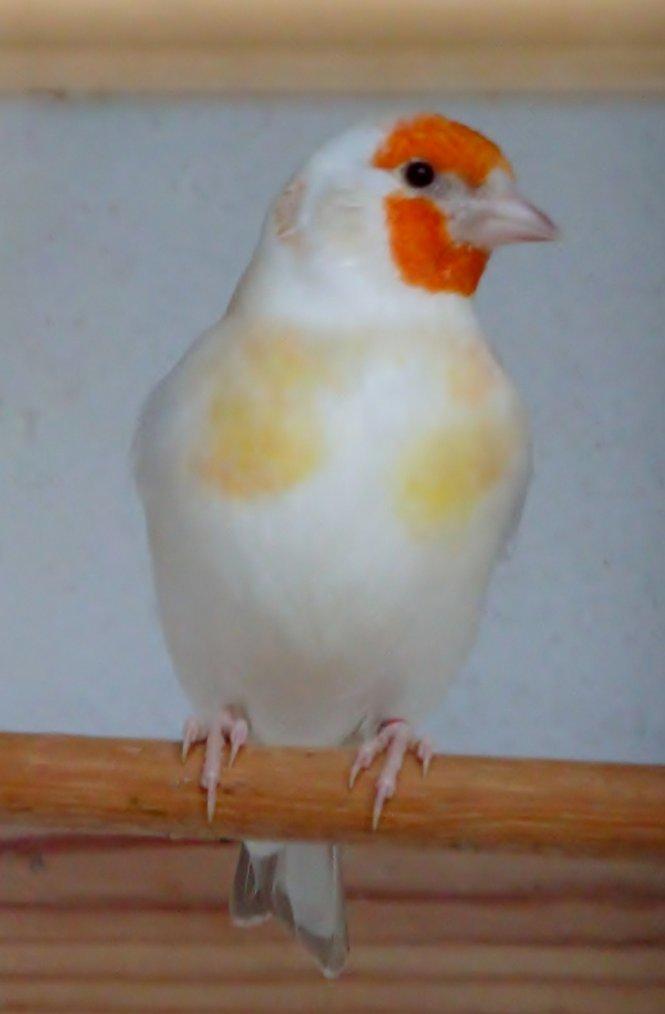 Chardoneret isabelle tête blanche femelle