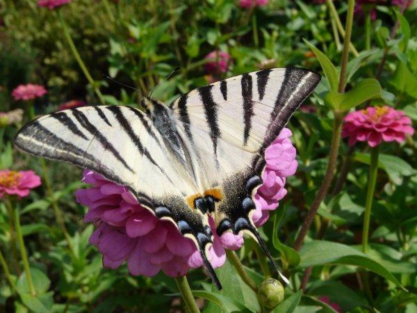 jolis papillons