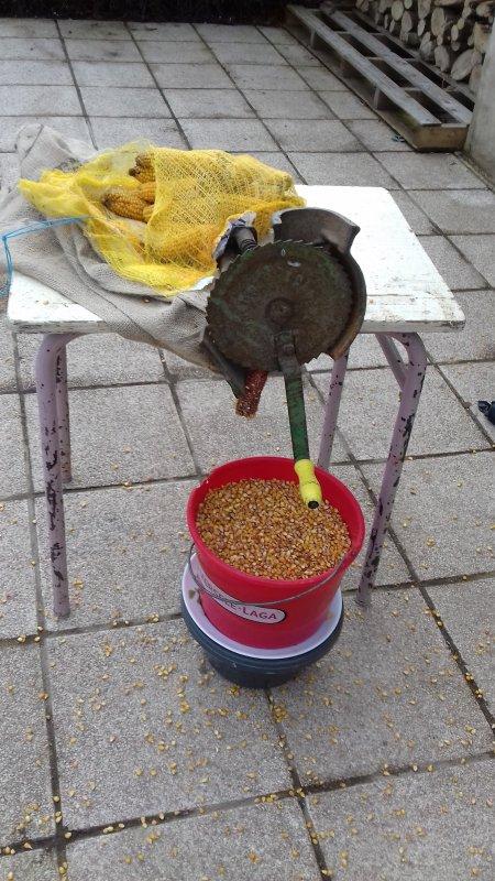 Aujourd'hui egrenage du maïs que j'avais récolté au moins septembre dernier qui servira pour la fin de préparation aux pigeons qui participeront aux concours de fond.
