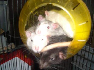 Rat d'égout ?