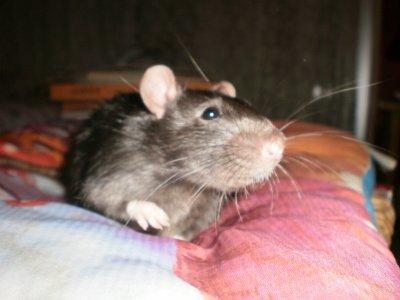 Avez-vous des rats ?