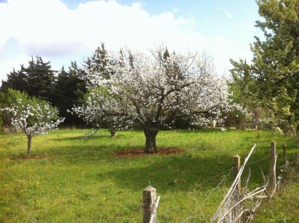 Cerisier croisé en balade
