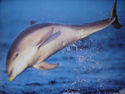 "Les dauphins  "" ambassadeurs "" d' Australie ......."