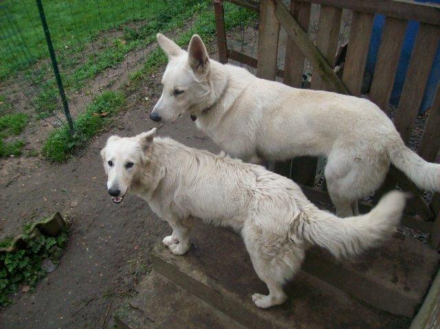 Blog de mes chiens berger blanc suisse